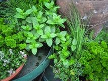 Ätliga gröna örter Royaltyfria Foton