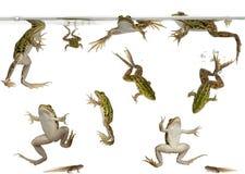 ätliga grodor som simmar grodynglar Arkivfoto