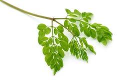 Ätliga moringa lämnar Arkivfoton