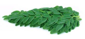 Ätliga moringa leaves Royaltyfri Fotografi