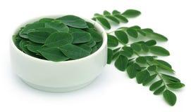 Ätliga moringa leaves Royaltyfri Bild