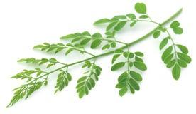 Ätliga moringa leaves Arkivfoton