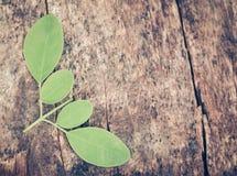 Ätliga moringa leaves Royaltyfria Foton
