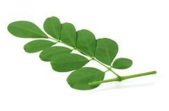 Ätliga moringa leaves Royaltyfri Foto