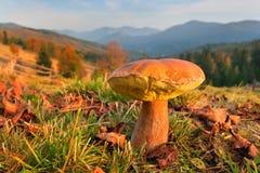 ätliga svampar Royaltyfria Bilder