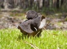 Ätliga svampar på en glänta Royaltyfri Bild