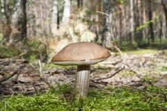 Ätliga svampar på en glänta Royaltyfri Fotografi