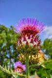 Ätligt huvud av kronärtskockaväxten i blomningslut upp arkivbilder