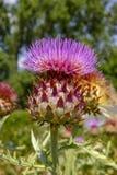 Ätligt huvud av kronärtskockaväxten i blomningslut upp arkivbild