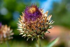 Ätligt huvud av kronärtskockaväxten i blomningslut upp arkivfoto