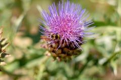 Ätligt huvud av kronärtskockaväxten i blomningslut upp fotografering för bildbyråer