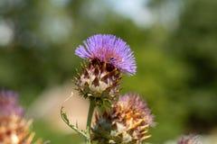 Ätligt huvud av kronärtskockaväxten i blomningslut upp arkivfoton