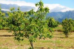 Ätligt kastanjebrunt träd Arkivbild