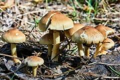 Ätligt svamp växa i gräset Arkivfoto