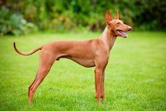 Ätna-Hund Cirneco-engen Tals Lizenzfreie Stockfotos