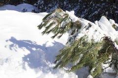 Ätna - schneebedeckte Kiefer stockbilder