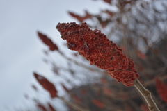 Ättik- träd Royaltyfri Fotografi
