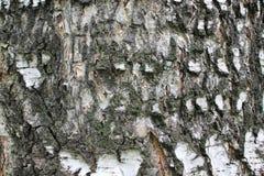 Äußere Schutzschicht der Birkenbarke-d der Birkenrinde stockfoto