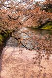 Äußerer Burggraben füllte mit der petalsmay Kirschblüte wird genannt ` Hanaikada-` oder Kirschteppich an Hirosaki-Park, Aomori, T Lizenzfreie Stockfotos