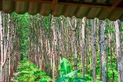 Även rader av träd på koloniheveaen Erhålla latexet och gummi Royaltyfri Bild