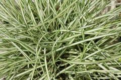 假山花园的一棵植物 丛的特写镜头苔属草,苔属oshimensis品种 图库摄影