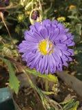 卡斯特罗紫罗兰色颜色花中间黄色 库存照片