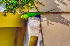 印度玫瑰圈状的长尾小鹦鹉/Psittacula,亦称圆环收缩的长尾小鹦鹉 免版税库存图片