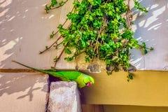 印度玫瑰圈状的长尾小鹦鹉/Psittacula,亦称圆环收缩的长尾小鹦鹉 免版税库存照片