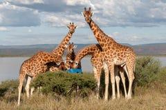 危险的Rothchild的长颈鹿,肯尼亚,非洲 2 camelopardalis长颈鹿 库存照片