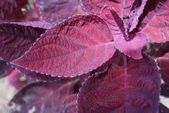 华腴紫色叶子 库存照片
