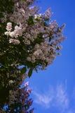 反对天空的开花的丁香 库存图片