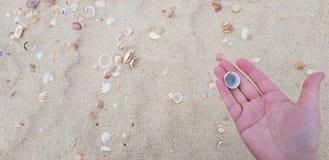 反对沙滩背景的一棵贝壳在手边棕榈 免版税库存图片