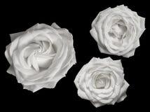 反对黑背景的三朵纯净的白玫瑰 库存照片