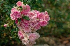 可爱的桃红色和白色小月季花花束  1 免版税库存图片