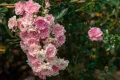 可爱的桃红色和白色小月季花花束  2 库存照片