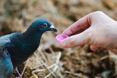 受伤的野生鸽子丢失了从小盒盖-人和动物之间的连接的胆怯和饮料水 库存图片