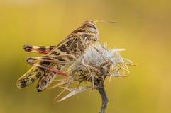 发怒蚂蚱Oedaleus decorus在克罗地亚,克尔克岛 图库摄影