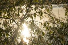 发芽的杨柳灌木在早期的春天 库存图片