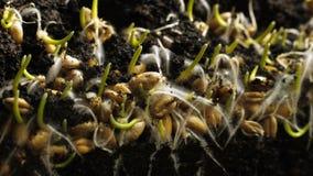 发芽生长在地面的麦子种子 面包发芽春天timelapse 股票录像