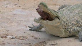 吃它的牺牲者的鳄鱼 股票视频