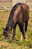 吃在农场的一匹棕色马 库存照片