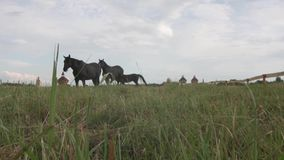 吃草吃温暖的草的黑良种典雅的马在草甸 股票视频