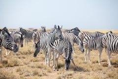 吃草在天空蔚蓝背景的大草原的美丽的斑马牧群紧密,徒步旅行队在埃托沙国家公园,纳米比亚 库存图片