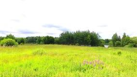 吃草在河岸的母牛牧群  鸟瞰图 股票录像