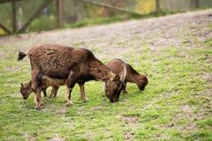吃草在春天草甸的山羊 免版税库存图片