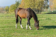 吃草在草甸的一匹马 一匹美丽的海湾马 免版税库存照片