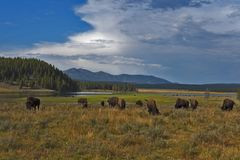 吃草在黄石国家公园的水牛城 免版税图库摄影