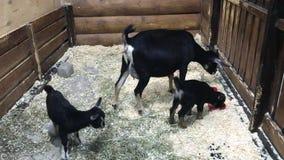 吃食物的黑母和两只幼小山羊 股票录像