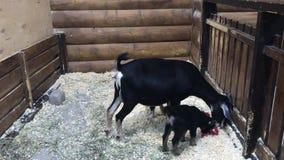 吃食物的黑母和两只幼小山羊 股票视频