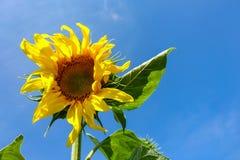 向日葵,与明亮的黄色瓣,反对天空蔚蓝的绿色叶子的向日葵在夏日 免版税库存照片